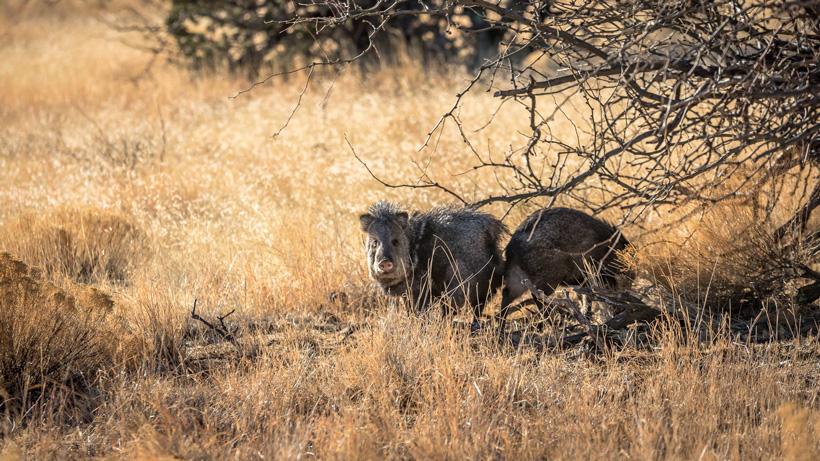 Arizona javelina hunting opportunities | goHUNT