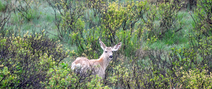 Growing mule deer buck