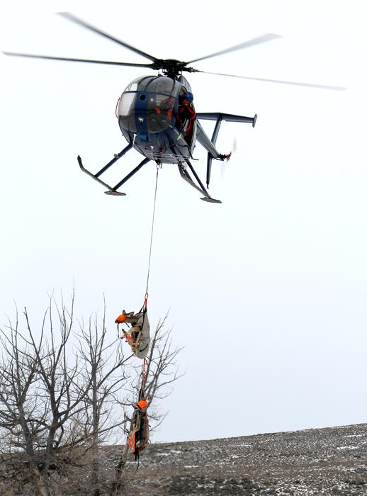 Helicopter capture of mule deer