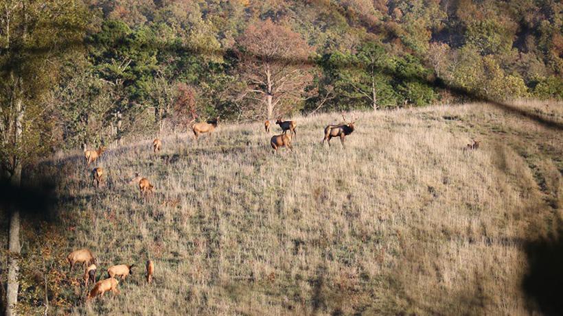 Herd of Arkansas elk