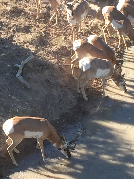 Herd of antelope at waterhole