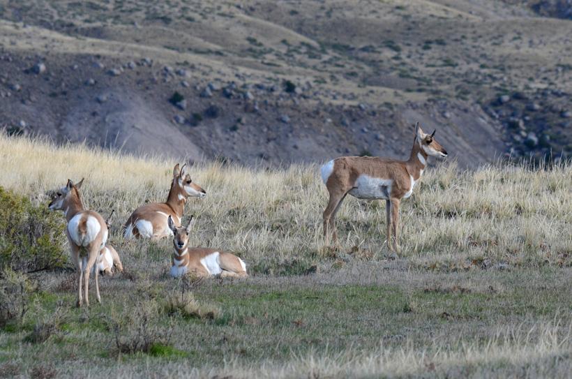 Herd of antelope does
