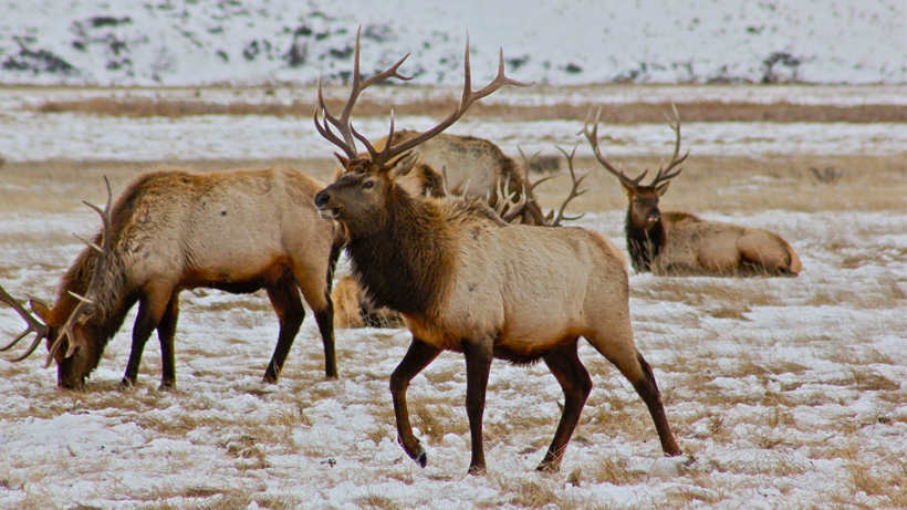 Herd of bull elk on feedgrounds