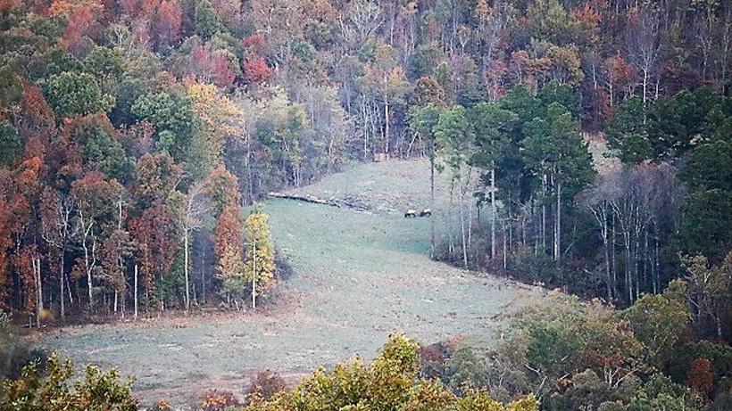 Herd of elk in Arkansas