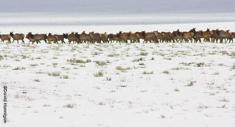Herd of elk in Colorado
