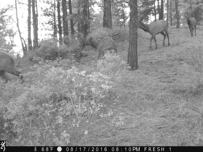 Herd of elk on trail camera