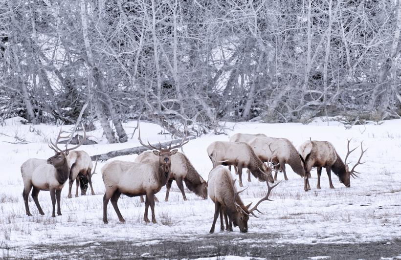 Herd of wintering bull elk