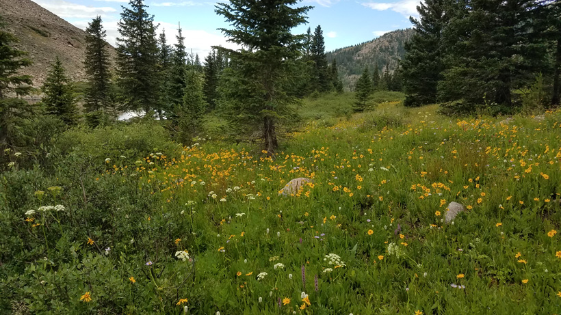 High country Colorado meadow