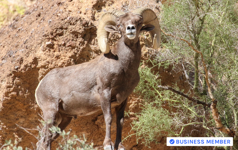 How to field judge bighorn sheep