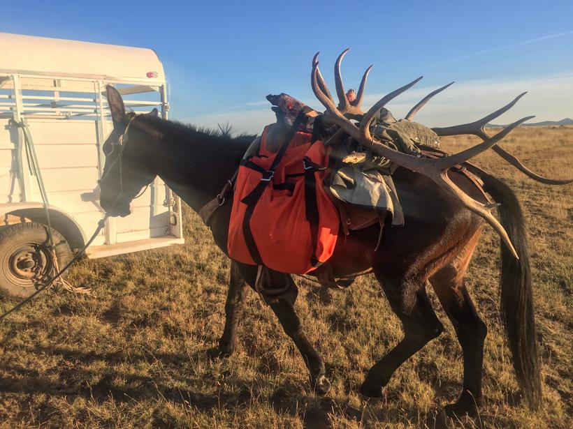 Hunter Agnettis bull elk packed back to camp
