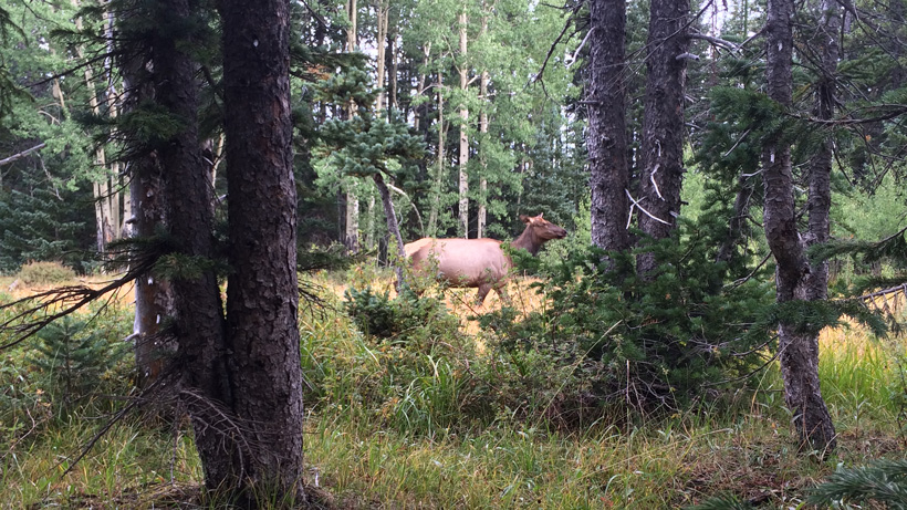Close encounter with cow elk