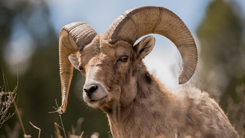 Record amount raised for Idaho bighorn sheep