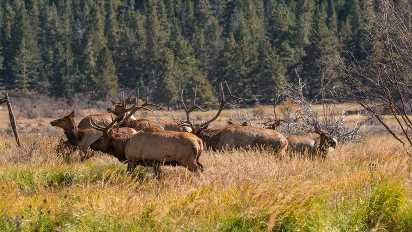 IDFG killed over 200 elk for depredation study last year