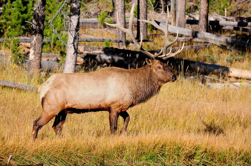 Idaho elk population on the rise