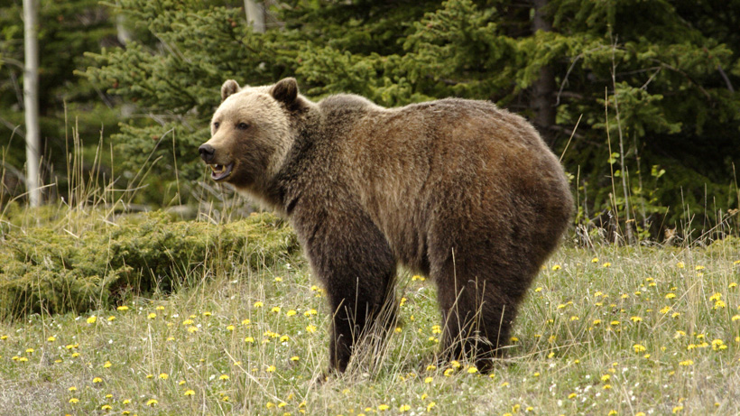 Idaho grizzly bear hunt approved