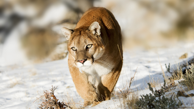 Idaho dogs attacked by mountain lions