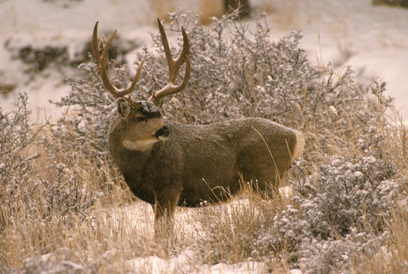 Idaho mule deer poaching