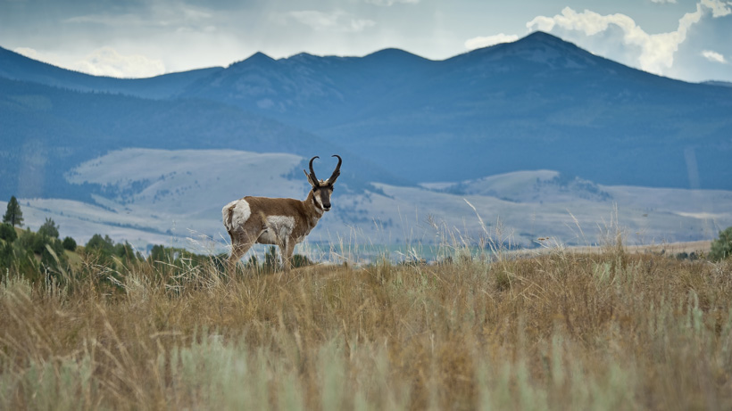 Idaho Pronghorn
