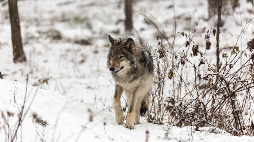 New bill could make wolf hunting year-round in Idaho