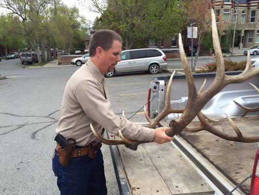 Illegal elk antlers