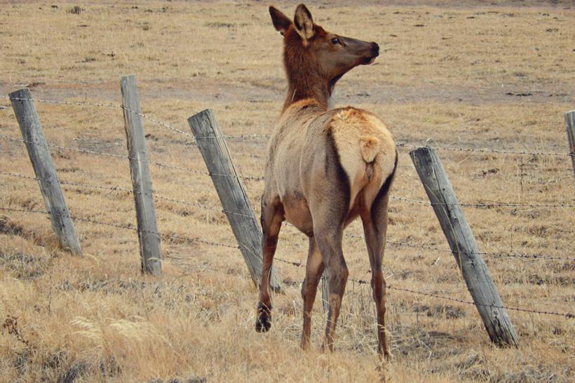 Injured cow elk