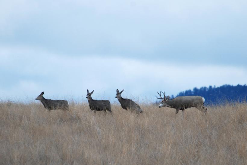 Mule deer buck rutting does