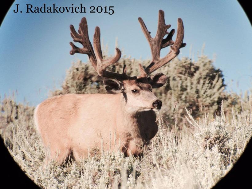 Jason Radakovich live photo of the poached Hoback mule deer buck