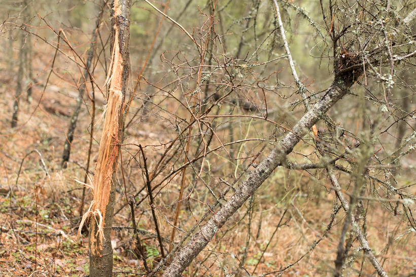 Washington whitetail rub