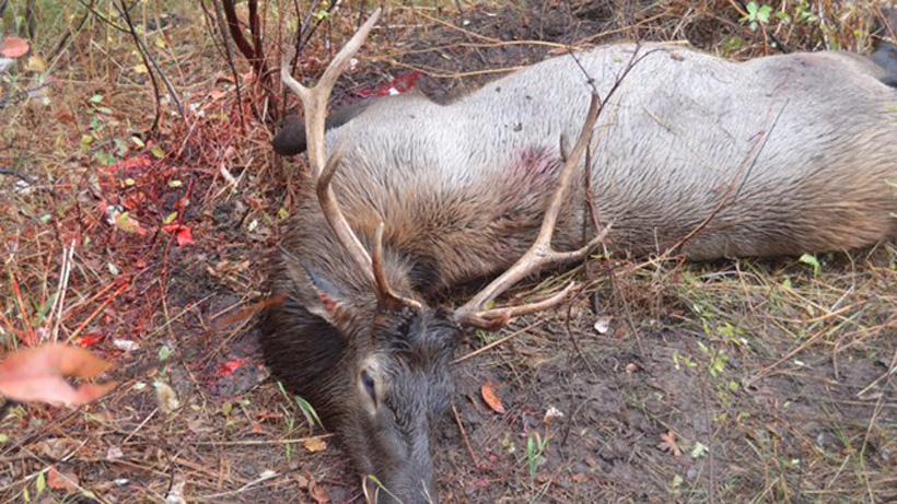 Justin Klement Idaho bull elk