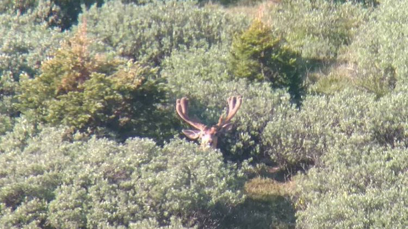 Kicker mule deer velvet buck in early July