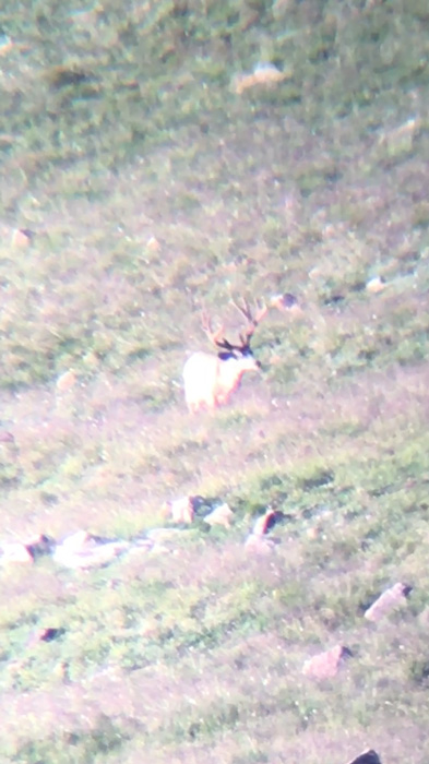Kicker mule deer velvet buck digiscope footage