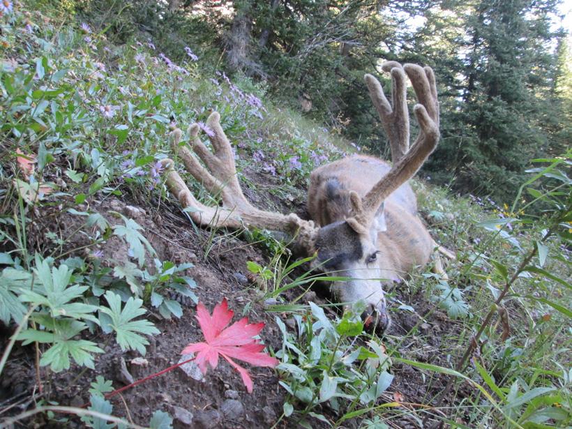 Kody's velvet Wyoming mule deer buck