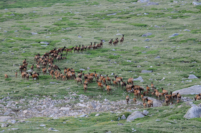 Large Colorado elk herd