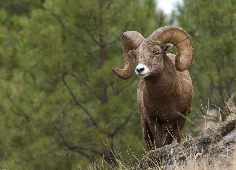 Large Montana bighorn sheep