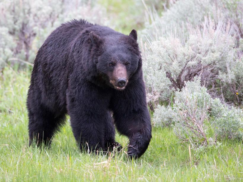Large Montana black bear