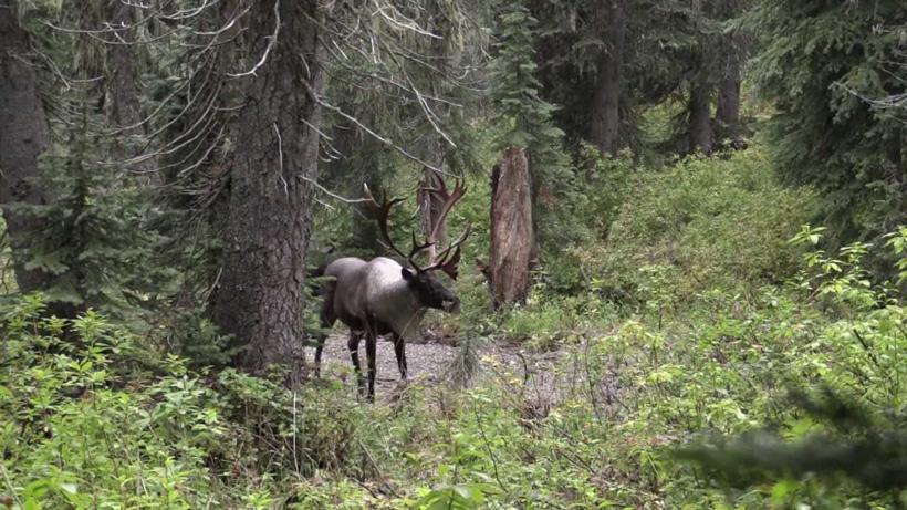 Large Selkirk mountain caribou bull