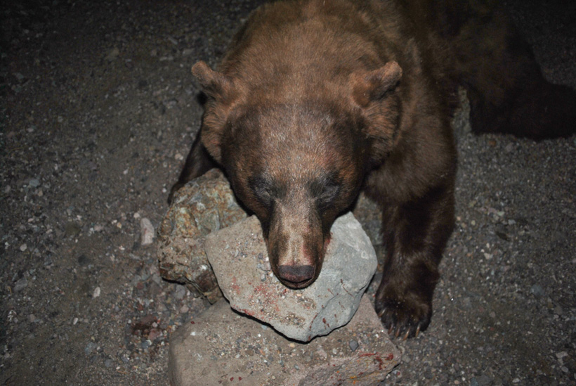 Large Utah black bear skull