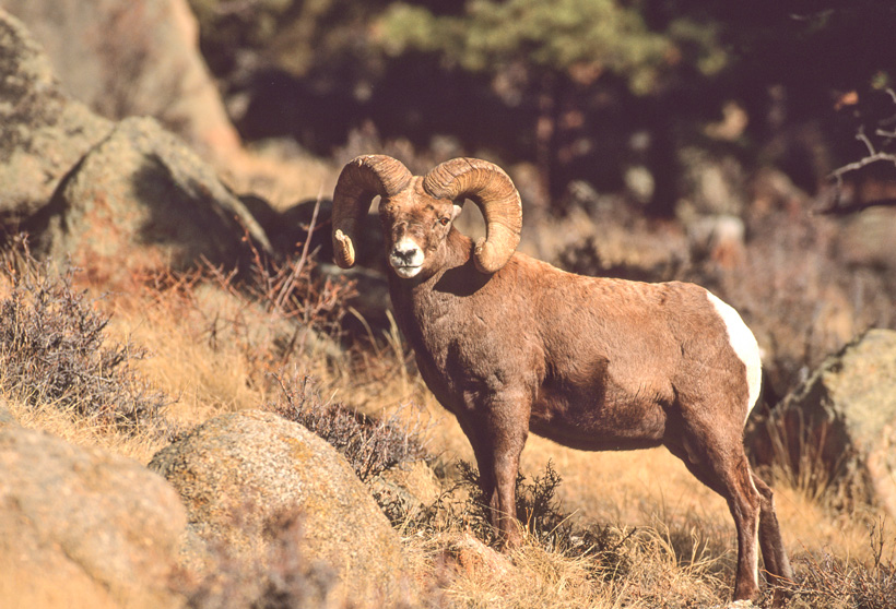 Bighorn sheep removed in Montana