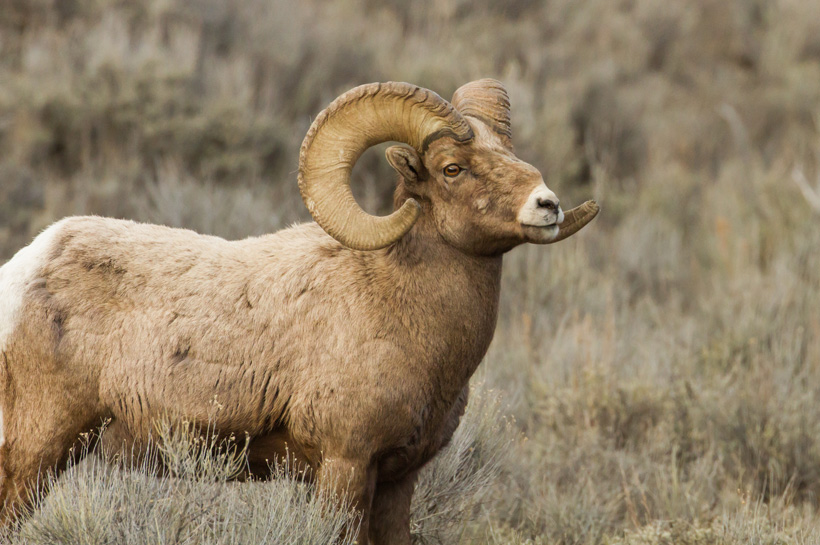 Large bighorn sheep ram side view