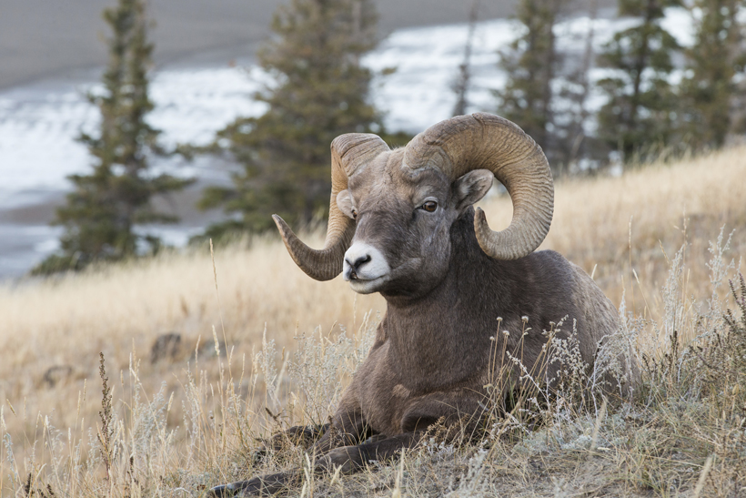 Large bedded bighorn sheep