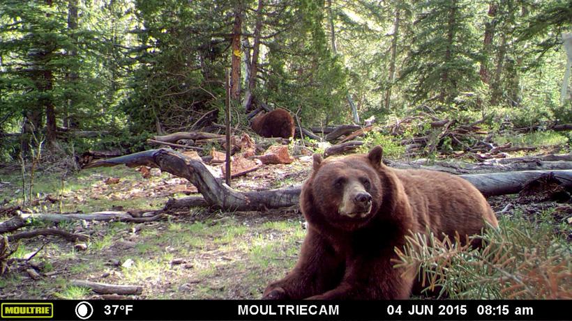 Tank the black bear on a trail camera photo
