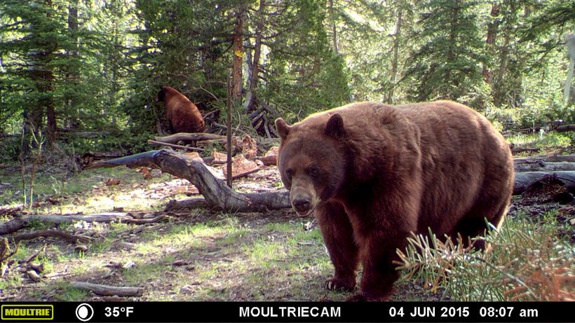 Large black bear on a trail camera