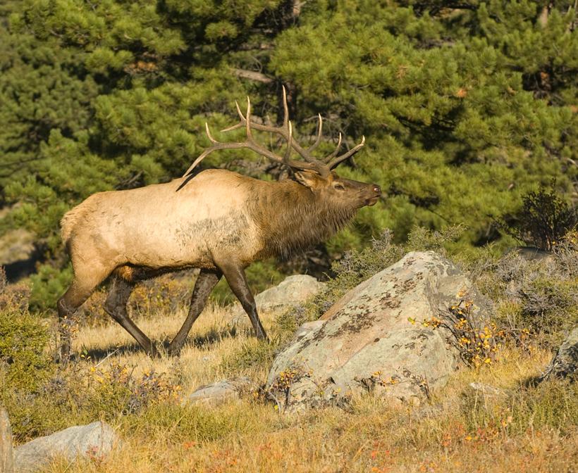 Large bull elk
