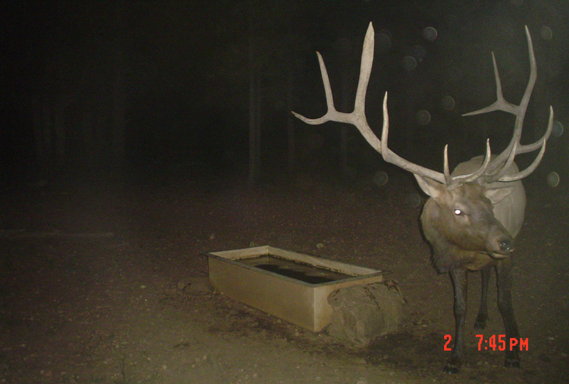 Large bull elk on a trail camera