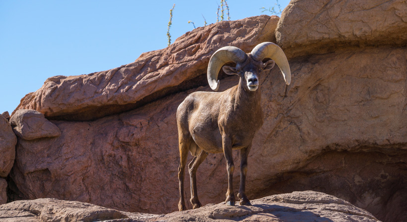 Large desert bighorn sheep