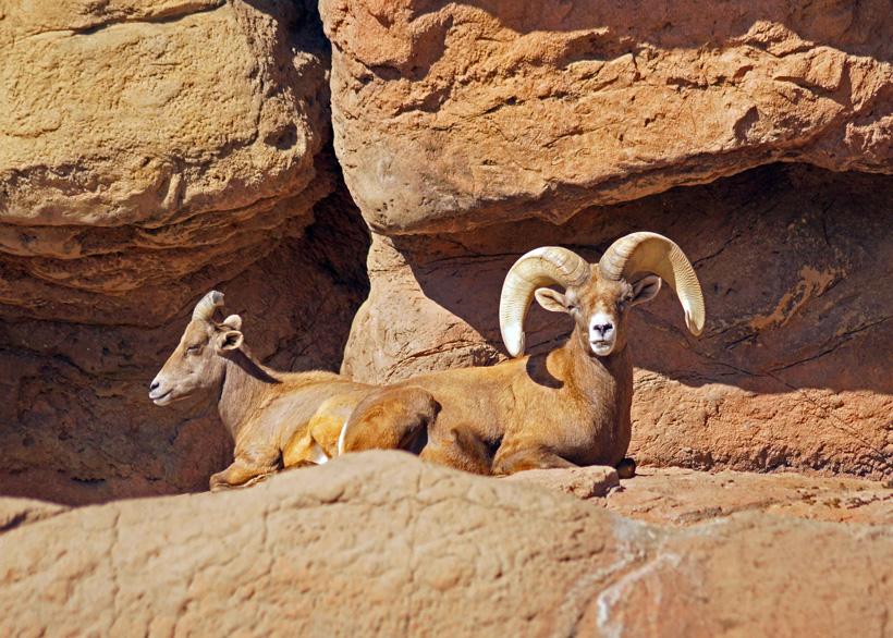 Large desert bighorn sheep in Arizona