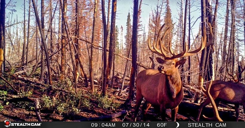 Large group of velvet bull elk on trail camera