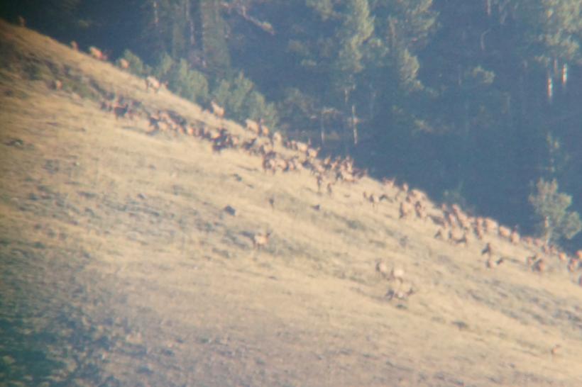 Large herd of elk