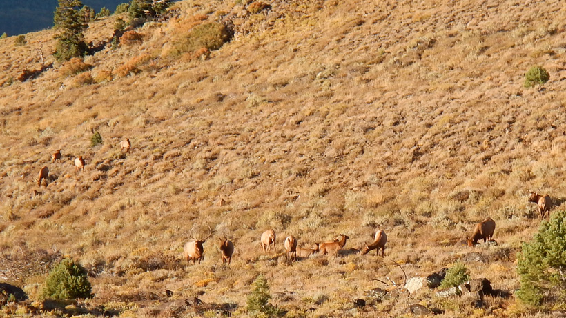 Large herd of Nevada elk