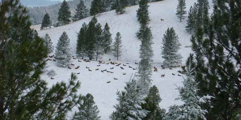 Large herd of late season elk